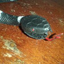Cobra de cor  preto e branco -  - Não informada